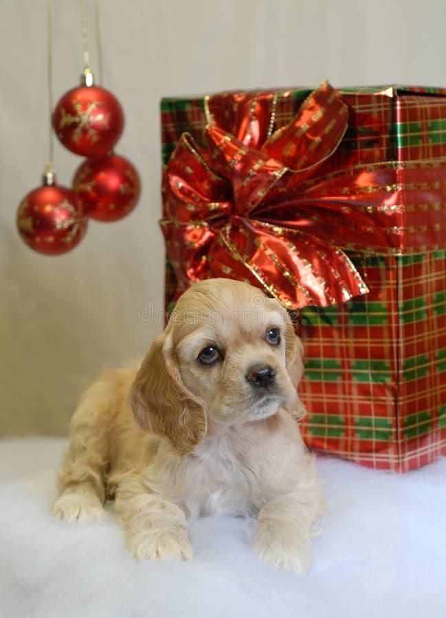 Perro de aguas de cocker con el presente foto de archivo libre de regalías