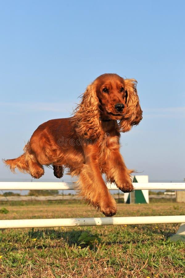 Perro de aguas de cocker en agilidad foto de archivo