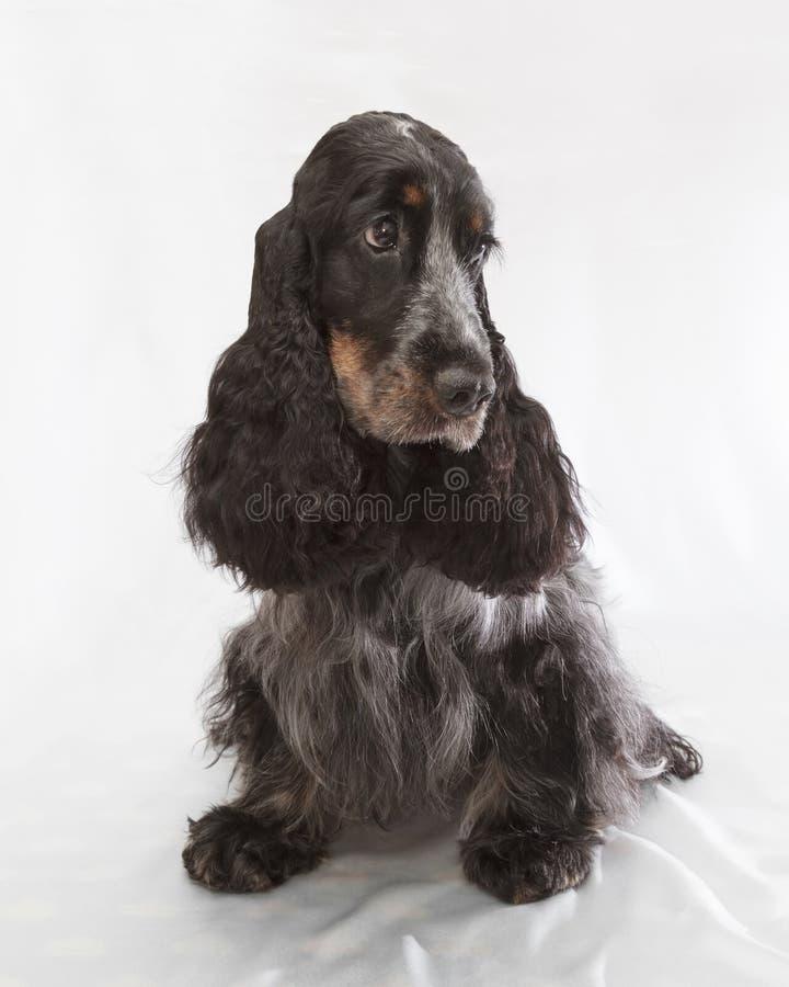Perro de aguas de cocker inglés imagenes de archivo