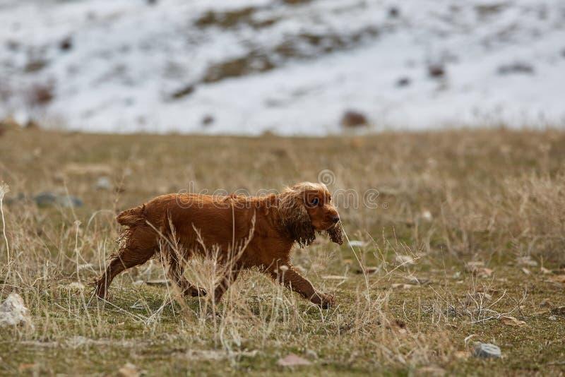 Perro de aguas de cocker inglés foto de archivo libre de regalías