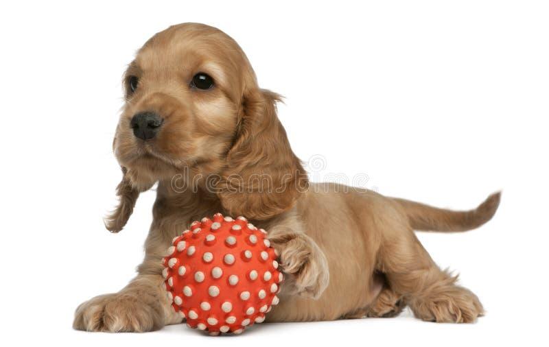 Perro de aguas de cocker inglés que juega con una bola, 8 foto de archivo libre de regalías