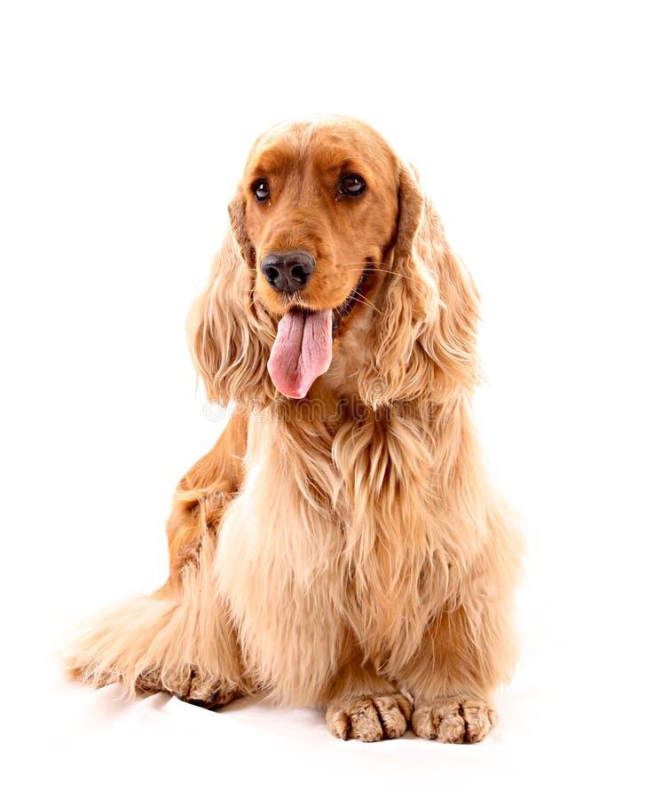 Perro de aguas de cocker joven aislado foto de archivo libre de regalías