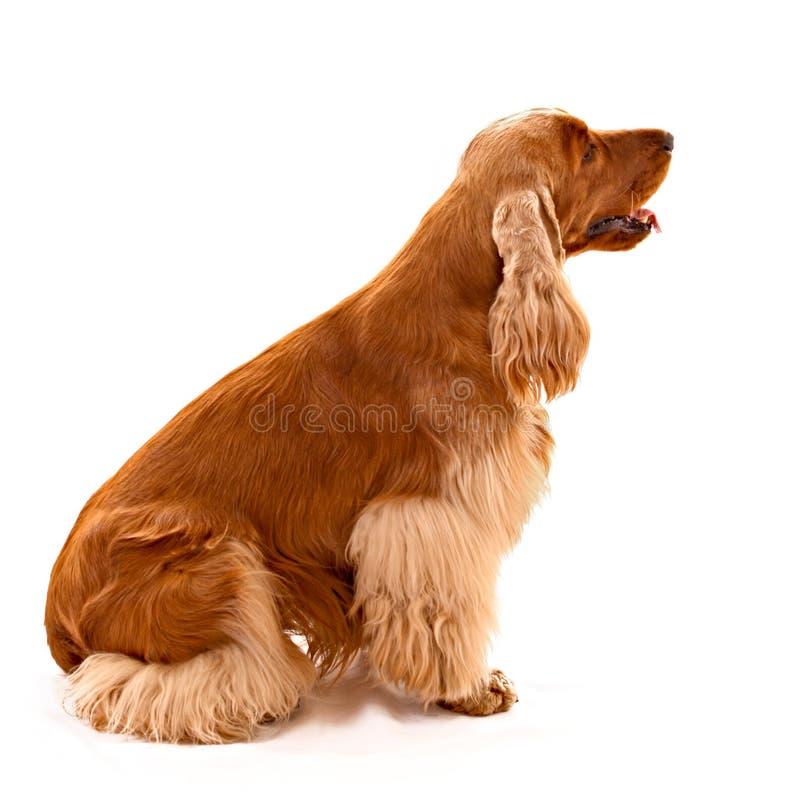 Perro de aguas de cocker joven aislado fotografía de archivo libre de regalías