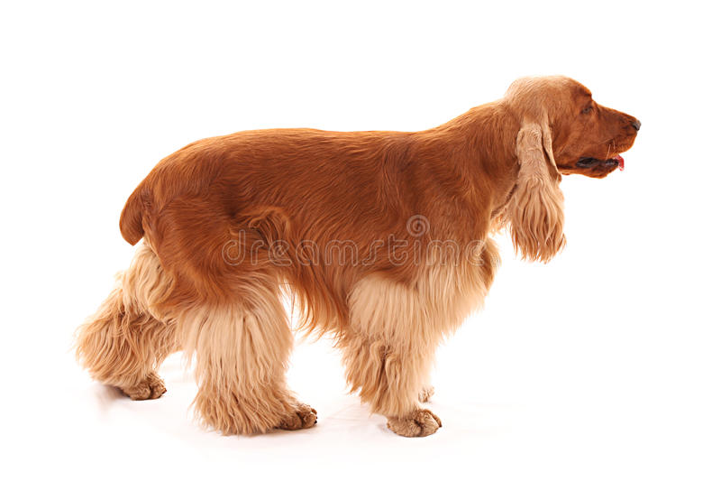 Perro de aguas de cocker joven aislado. Vista lateral imagen de archivo libre de regalías