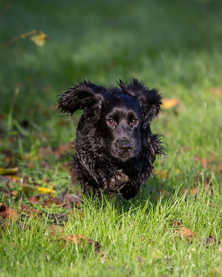 Perro de aguas de cocker negro fotografía de archivo libre de regalías
