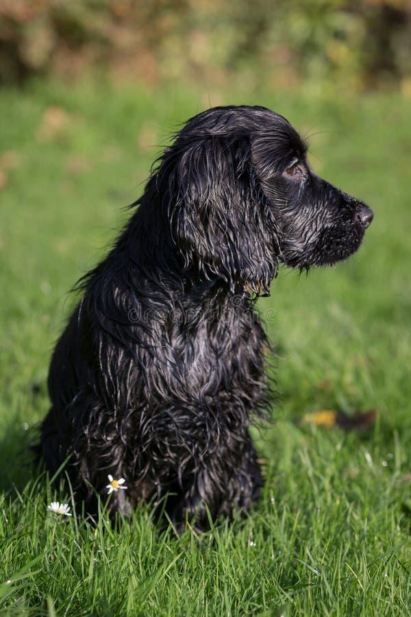 Perro de aguas de cocker negro foto de archivo libre de regalías