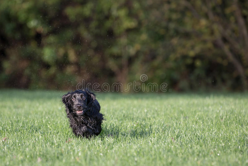 Perro de aguas de cocker negro imagen de archivo libre de regalías