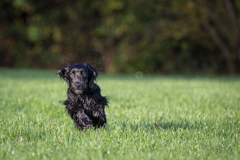Perro de aguas de cocker negro fotos de archivo