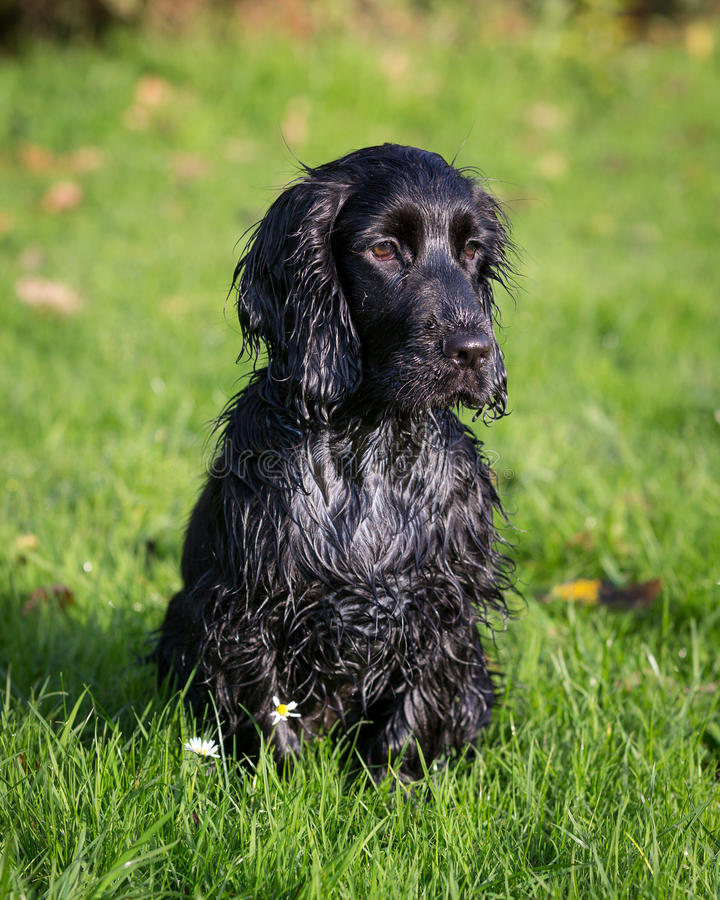 Perro de aguas de cocker negro imágenes de archivo libres de regalías
