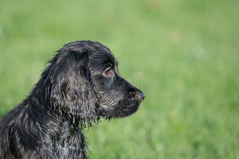 Perro de aguas de cocker negro fotografía de archivo
