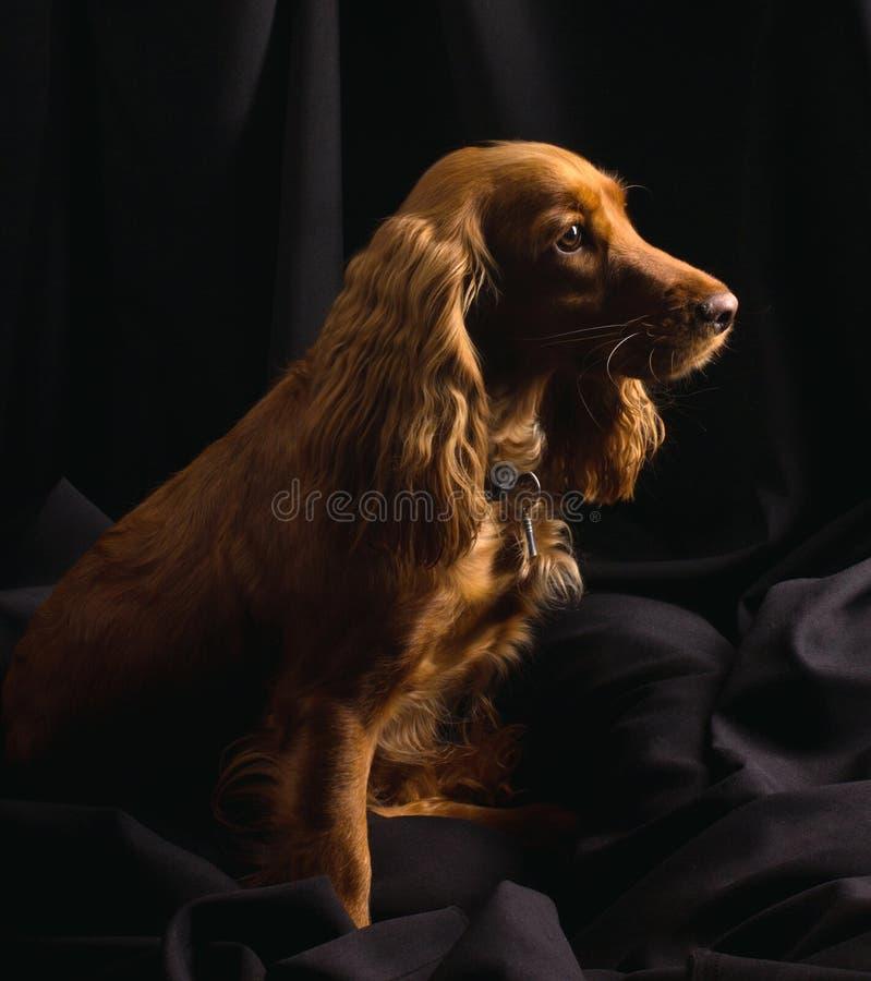 Perro de aguas de cocker rojo en fondo negro foto de archivo
