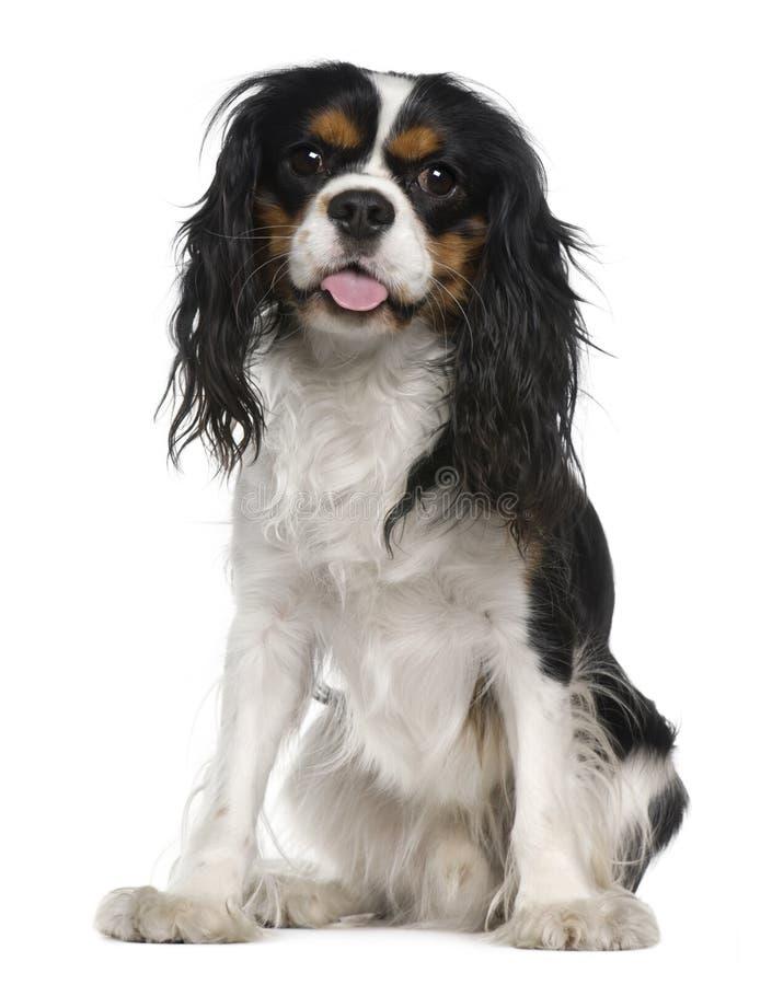 Perro de aguas de rey Charles arrogante, 1 año, sentándose imagen de archivo libre de regalías