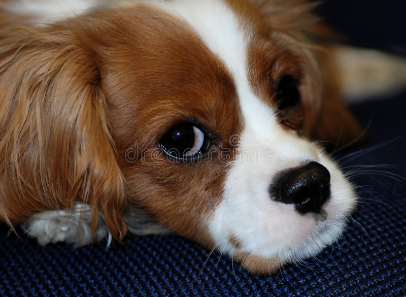 Perro de aguas de rey Charles arrogante foto de archivo