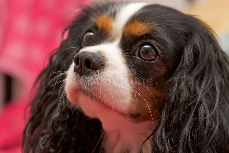 Perro de aguas de rey Charles arrogante fotos de archivo libres de regalías