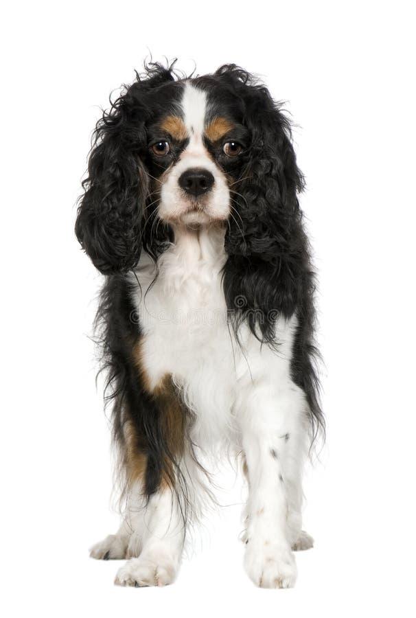 Perro de aguas de rey Charles arrogante (5 años) imágenes de archivo libres de regalías