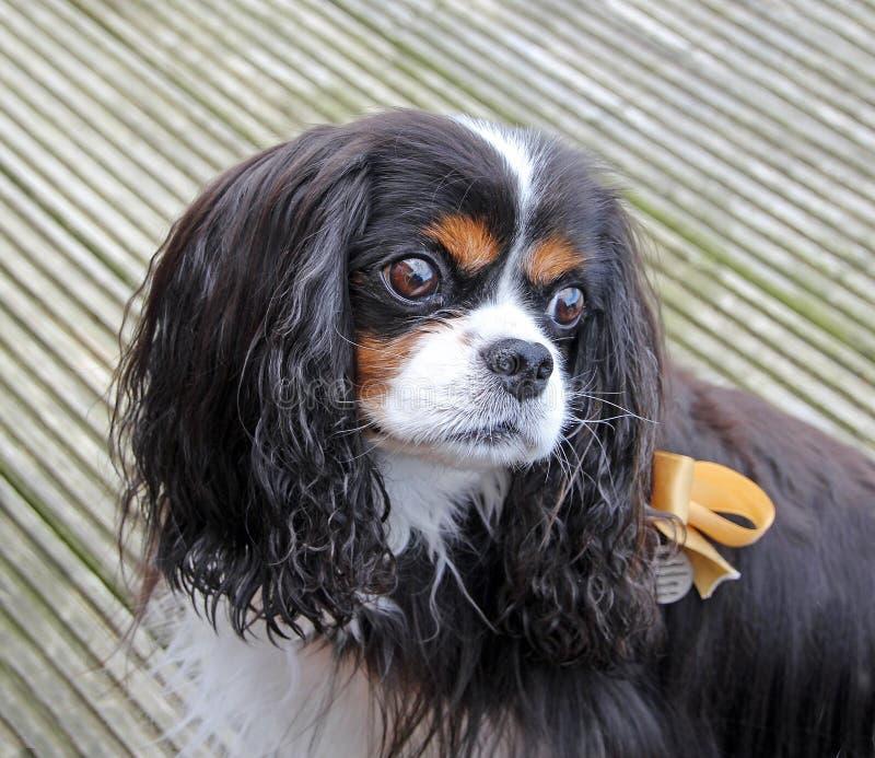 Perro de aguas de rey Charles arrogante imagen de archivo