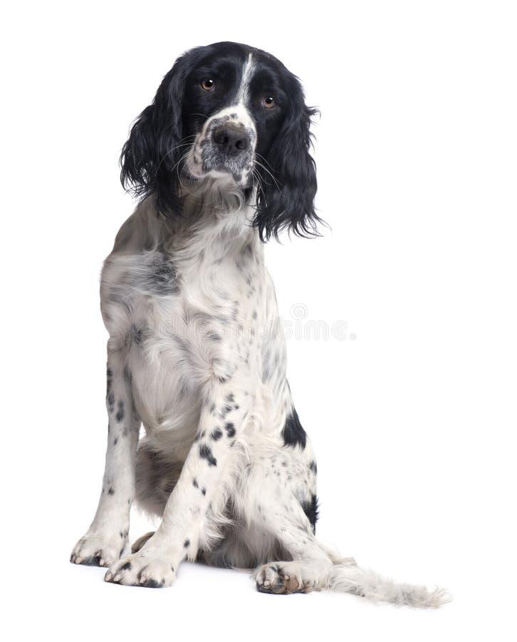 Perro de aguas de saltador inglés (1 año) imagenes de archivo