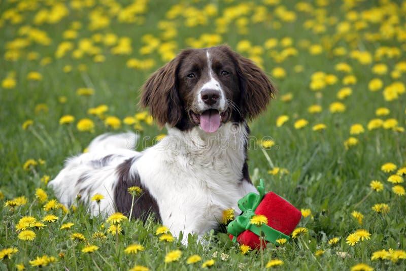 Perro de aguas de saltador inglés con el juguete imagen de archivo libre de regalías