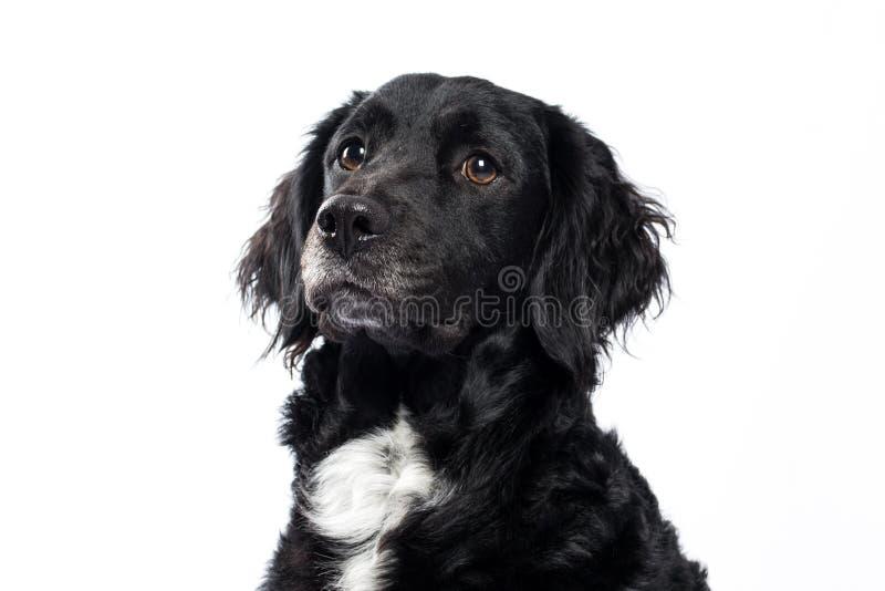 Perro de aguas de saltador Mudi imagen de archivo libre de regalías