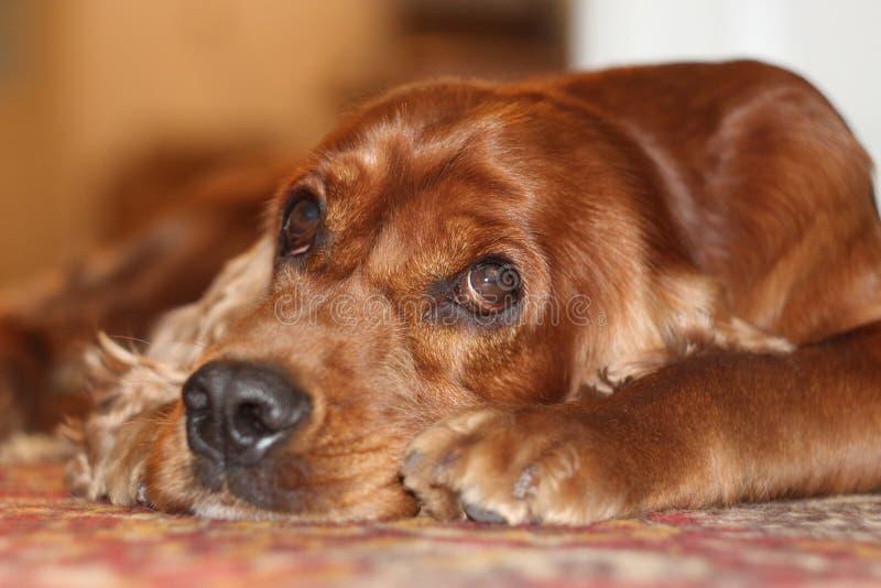 Perro de aguas del perro fotos de archivo