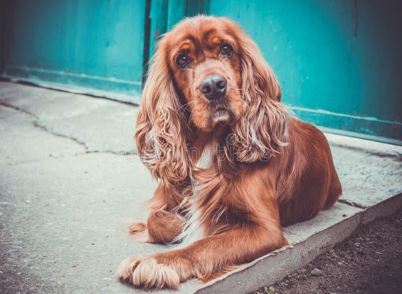 Perro de aguas del perro imagenes de archivo