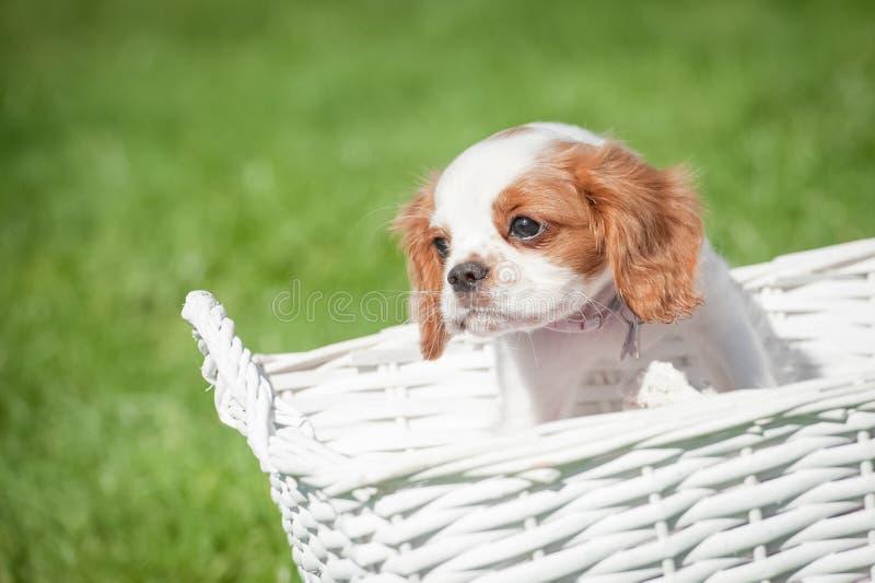 Perro de aguas en una cesta foto de archivo libre de regalías