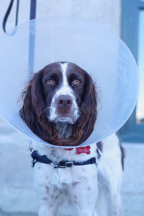 Perro de aguas inglés en un cono de la vergüenza imagenes de archivo