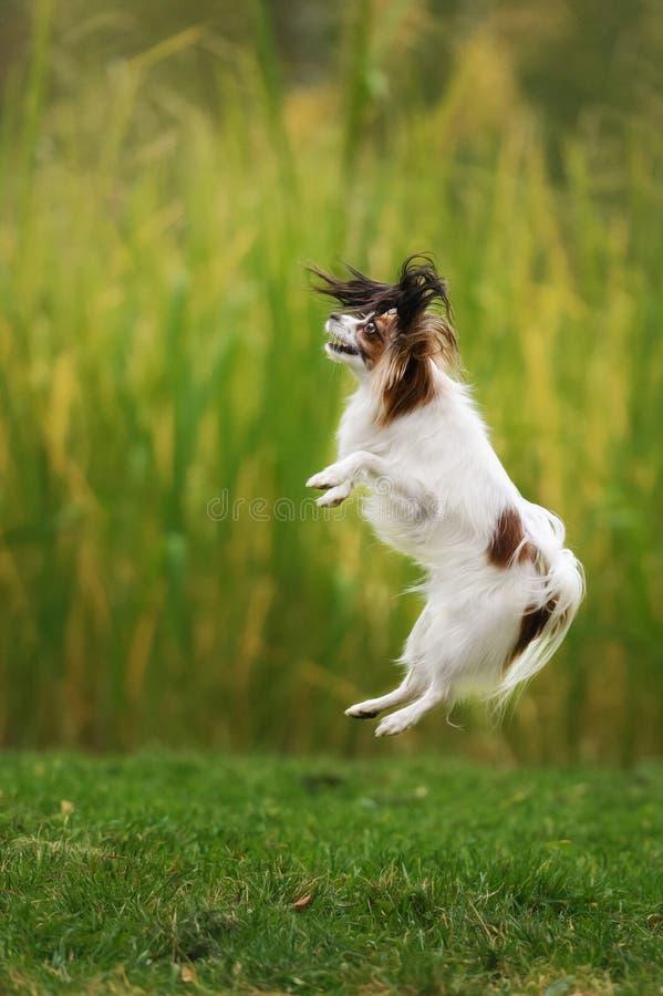 Perro de aguas de juguete continental pedigrí imagenes de archivo