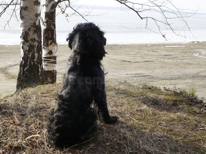 Perro de aguas ruso imágenes de archivo libres de regalías