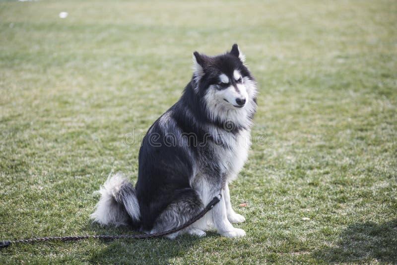 Perro de Alaska imagen de archivo libre de regalías