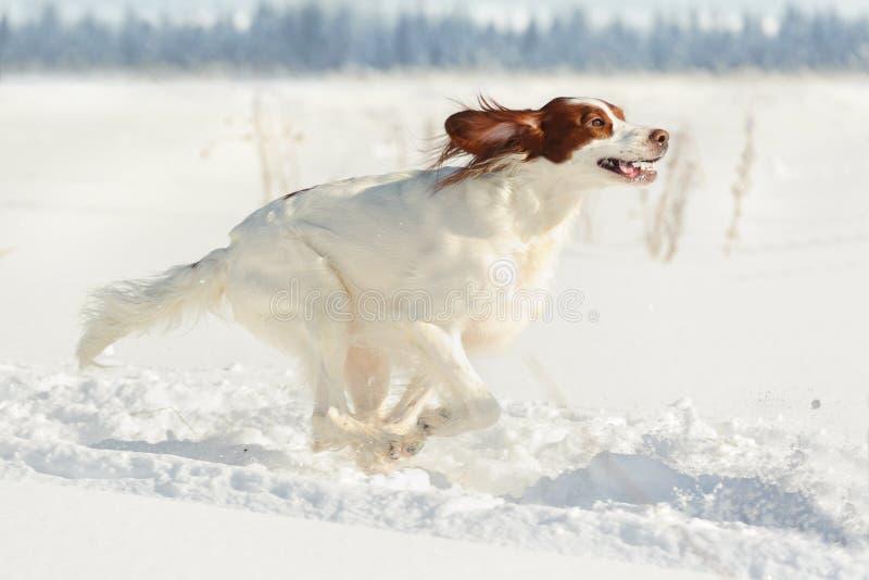 Perro de arma rojo y blanco que corre rápidamente contra la nieve blanca fotos de archivo