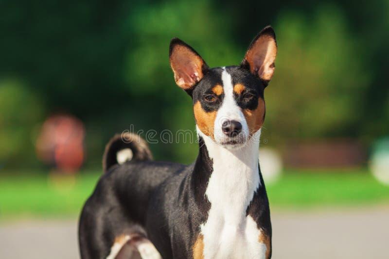 Perro de Basenji afuera en hierba verde imágenes de archivo libres de regalías