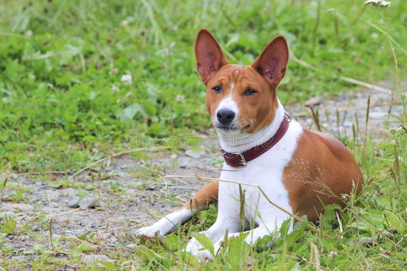 Perro de Basenji en el parque Perro magnífico criado en línea pura imagen de archivo