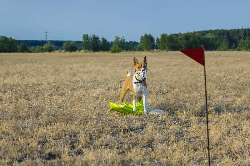 Perro de Basenji en un campo en un bozal para cursar imagen de archivo libre de regalías