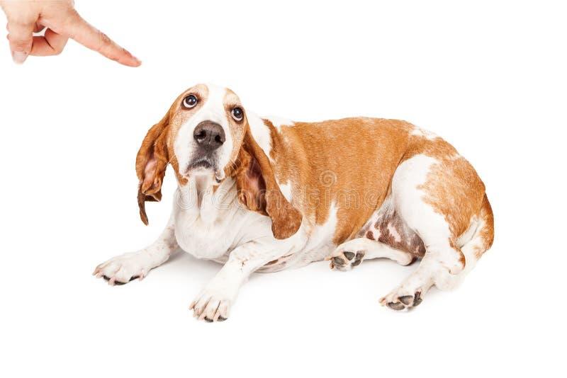 Perro de Basset Hound que es castigado imagen de archivo