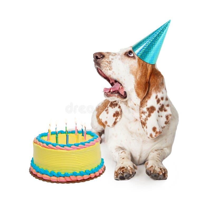 Perro de Basset Hound que sopla hacia fuera velas del cumpleaños foto de archivo libre de regalías