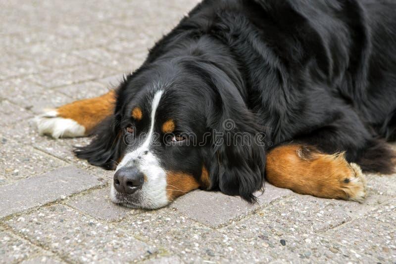 Perro de Bernese fotos de archivo libres de regalías