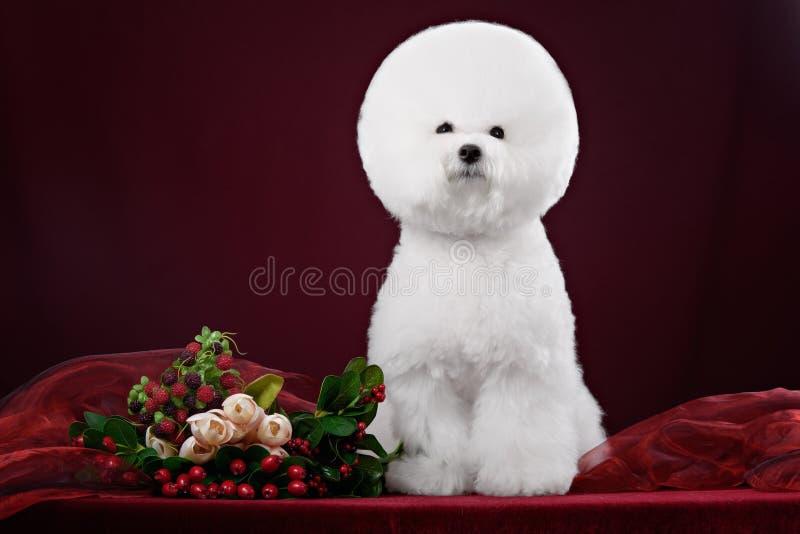 Perro de Bichon Frise en un estudio oscuro imagen de archivo