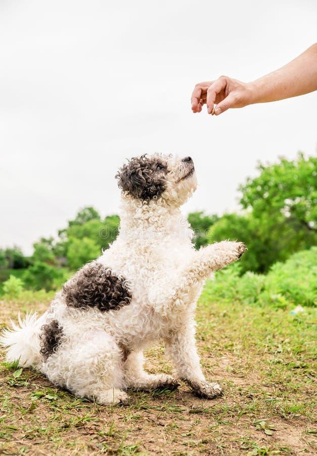 Perro de Bichon Frise que se sienta en la hierba verde que da una pata a su dueño afuera imágenes de archivo libres de regalías