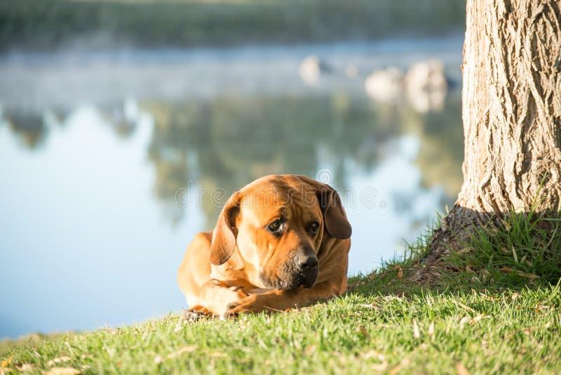 Perro de Boerboel que miente en la orilla del río fotografía de archivo libre de regalías