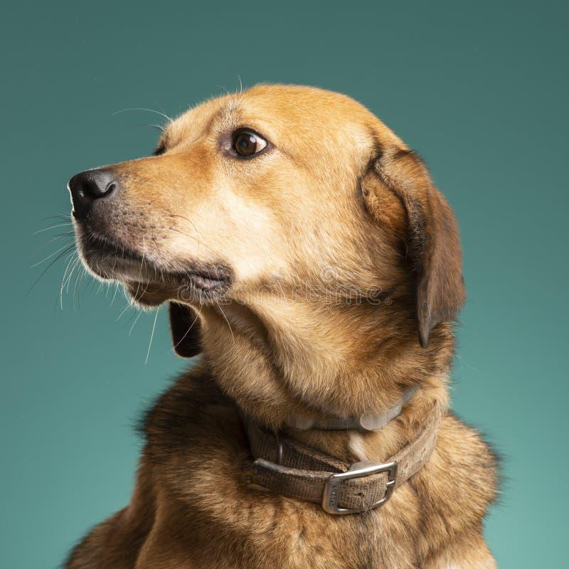 Perro de Brown en el estudio fotos de archivo