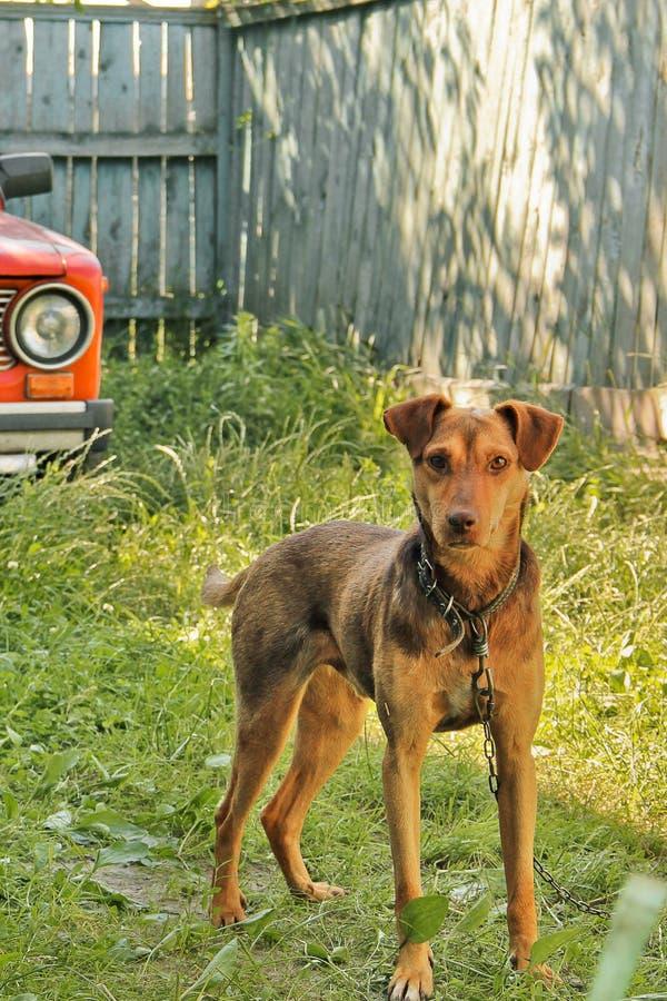 Perro de Brown en la yarda Perro hermoso fotos de archivo libres de regalías