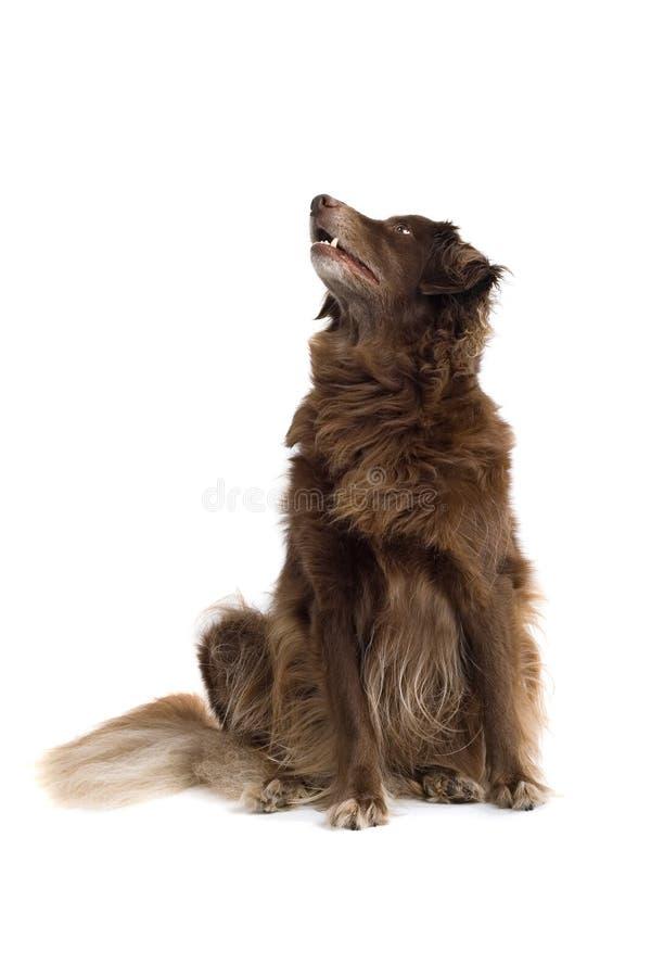 Perro de Brown que mira para arriba foto de archivo libre de regalías
