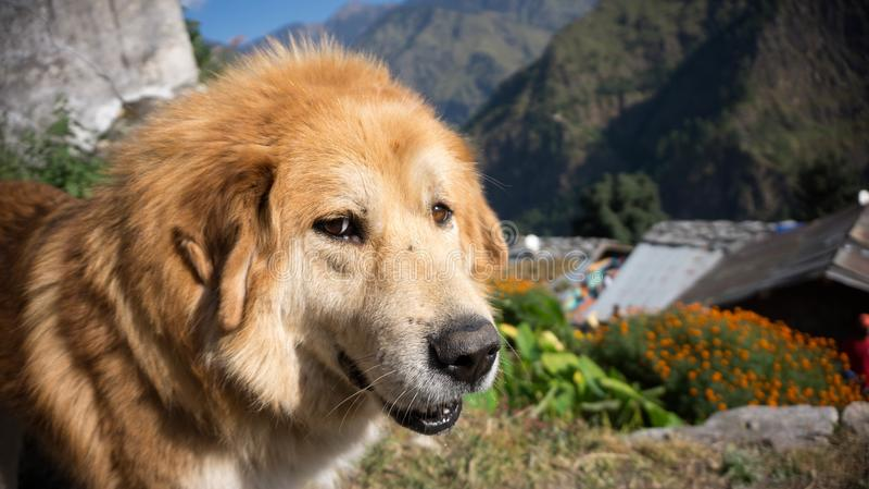 Perro de Bugyali en Sankri fotos de archivo libres de regalías