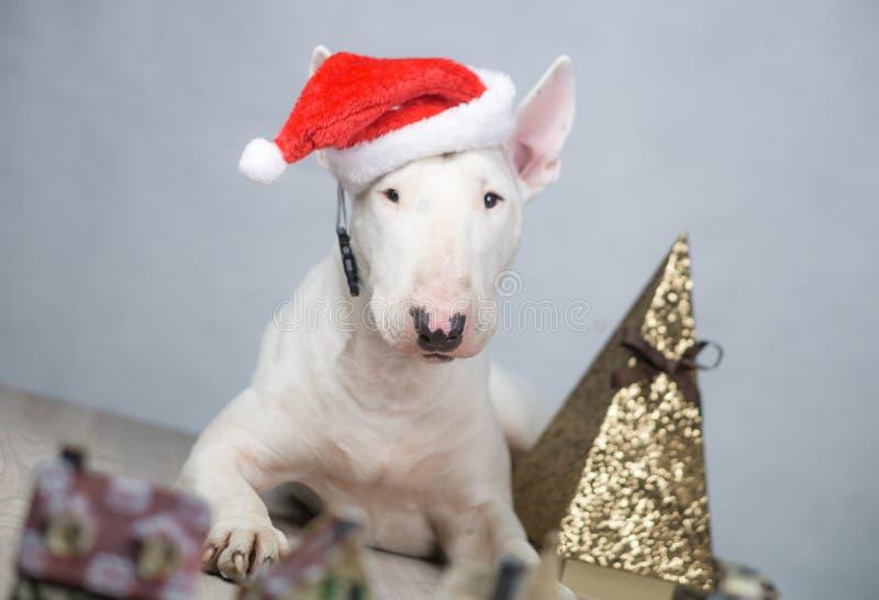 Perro de bull terrier con el sombrero de santa en la Navidad foto de archivo libre de regalías