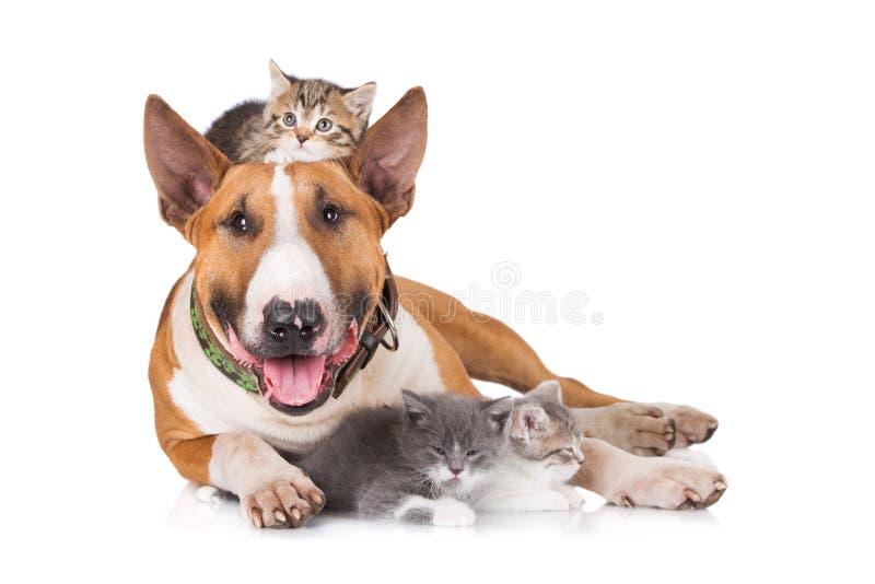 Perro de bull terrier con los gatitos fotografía de archivo libre de regalías