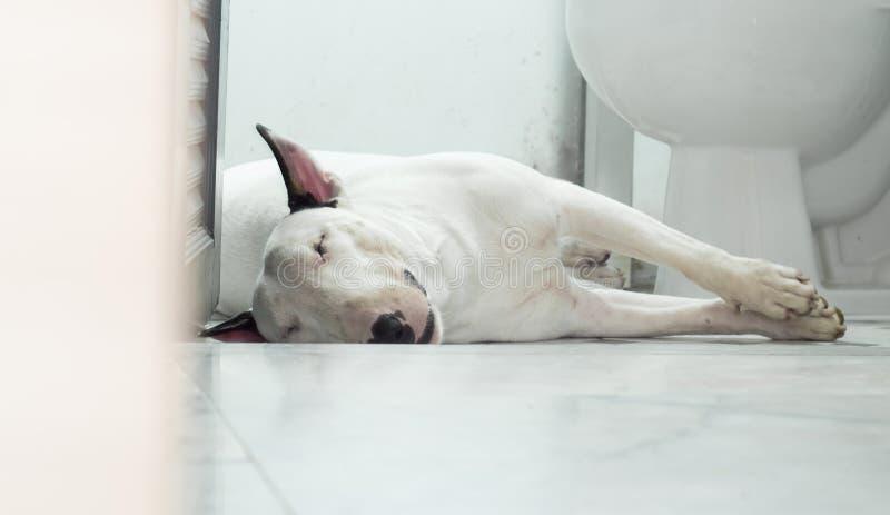 Perro de bull terrier que duerme en cuarto de baño imagenes de archivo