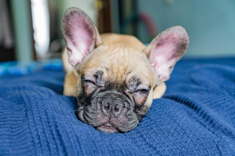 Perro de bulldog francés durmiendo en la cama fotografía de archivo