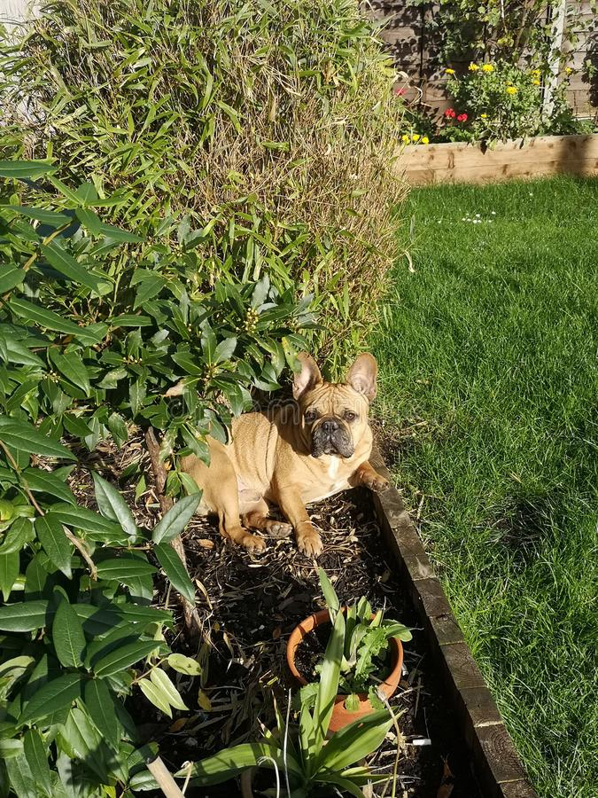 Perro de bulldog francés es una naturaleza traviesa fotos de archivo