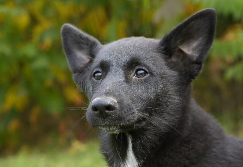 Perro de Canaan imagenes de archivo